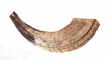 Shofar in Light Brown Natural Color from Ram Horn Half Polished 12""