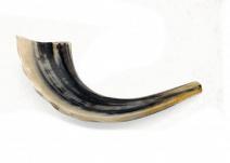 """Ram Horn Shofar  Natural Color Polished 11.4""""-13"""""""